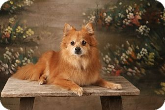 Pomeranian Dog for adoption in conroe, Texas - Ricky