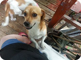 Beagle Mix Dog for adoption in waterbury, Connecticut - Logan