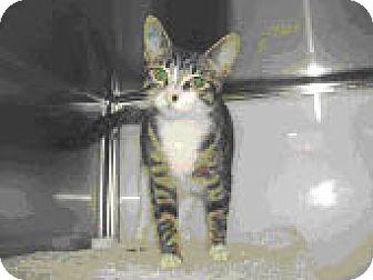 Domestic Mediumhair Kitten for adoption in Salem, Oregon - Jenny (shelter)