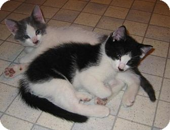 Domestic Shorthair Cat for adoption in Wakefield, Massachusetts - Manny