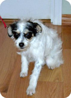Jack Russell Terrier Mix Dog for adoption in Tehachapi, California - Jax