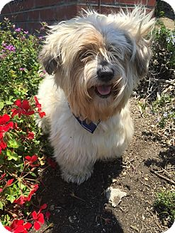 Havanese Mix Dog for adoption in Rancho Palos Verdes, California - WILLY