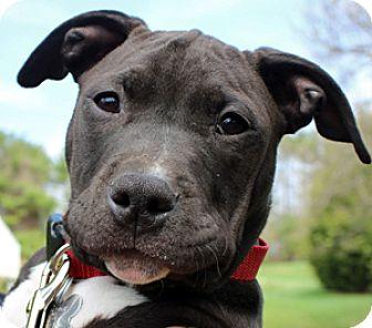 American Pit Bull Terrier Mix Puppy for adoption in Fulton, Missouri - Morris Day *Massachusetts