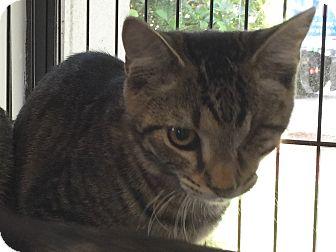 Domestic Shorthair Cat for adoption in Sarasota, Florida - Captain Jack Sparrow