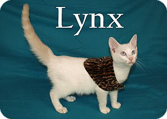 Siamese Kitten for adoption in Jackson, Mississippi - Lynx