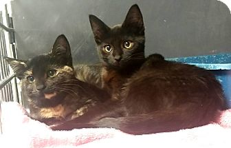 Domestic Shorthair Kitten for adoption in Union, New Jersey - Stencil