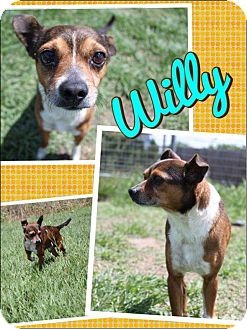 Terrier (Unknown Type, Small) Mix Dog for adoption in Cat Spring, Texas - Wee Willie
