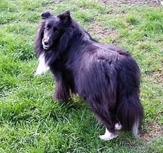 Sheltie, Shetland Sheepdog Dog for adoption in Pittsburgh, Pennsylvania - Maeve