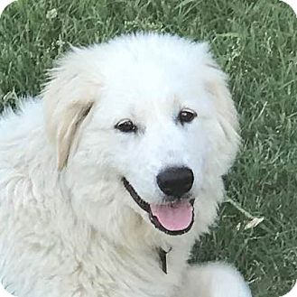 Great Pyrenees Puppy for adoption in Garland, Texas - Thelma
