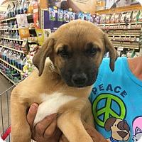 Adopt A Pet :: Pudge - Hohenwald, TN