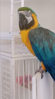 Macaw for adoption in Villa Park, Illinois - Buddy
