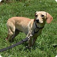 Adopt A Pet :: Pup Marsha - Rockville, MD