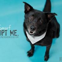Adopt A Pet :: Smurf - Mission, KS