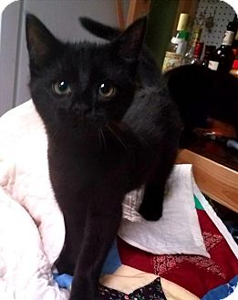 Domestic Shorthair Kitten for adoption in Herndon, Virginia - Micah