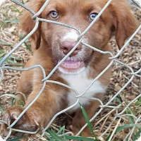 Boxer/German Shepherd Dog Mix Puppy for adoption in Burlington, Vermont - Eric