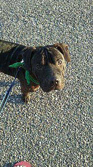 Beagle/Shar Pei Mix Dog for adoption in Tuckerton, New Jersey - Archy