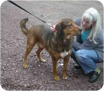 German Shepherd Dog/Hound (Unknown Type) Mix Dog for adoption in Bloomsburg, Pennsylvania - Benny