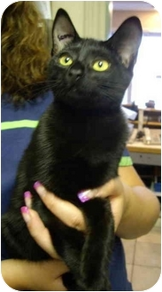 Domestic Shorthair Kitten for adoption in Saanichton, British Columbia - Mr. Mistoffelees