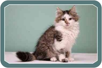 Domestic Mediumhair Kitten for adoption in Sterling Heights, Michigan - Schroeder  ADOPTED!