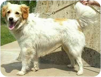 Spaniel (Unknown Type) Mix Dog for adoption in North Judson, Indiana - Dove