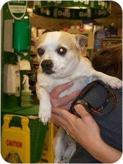 Chihuahua/Pug Mix Dog for adoption in Mesa, Arizona - Bubba