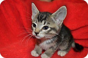 American Shorthair Kitten for adoption in Maple Ridge, British Columbia - Cloe