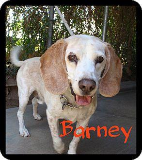 Beagle/Basset Hound Mix Dog for adoption in Orange, California - Barney