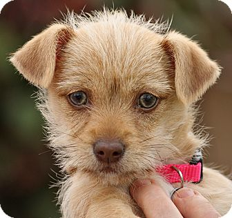 Terrier (Unknown Type, Small)/Chihuahua Mix Puppy for adoption in Thousand Oaks, California - Gidget von Hill