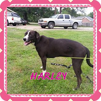 Boxer/Labrador Retriever Mix Dog for adoption in Donaldsonville, Louisiana - Harley