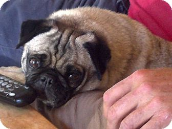 Pug Dog for adoption in Anaheim, California - Lilly