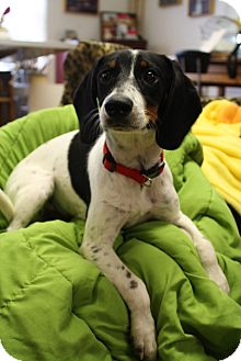Terrier (Unknown Type, Medium)/Hound (Unknown Type) Mix Dog for adoption in Norwich, Connecticut - Snoopy