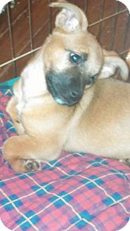 Hound (Unknown Type)/Shepherd (Unknown Type) Mix Puppy for adoption in Chattanooga, Tennessee - Nutmeg(Meggie)