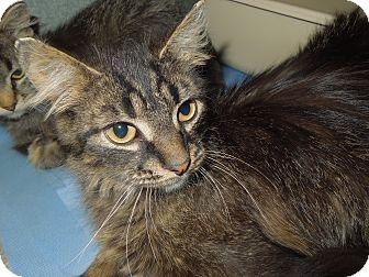 Domestic Mediumhair Cat for adoption in Medina, Ohio - Jonathan