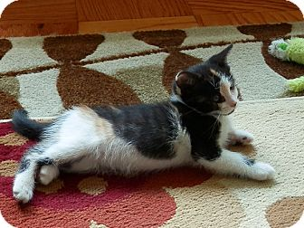 Calico Kitten for adoption in North Haven, Connecticut - Liza