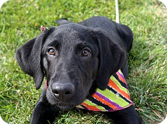 Labrador Retriever Mix Puppy for adoption in Salem, Massachusetts - Sofie