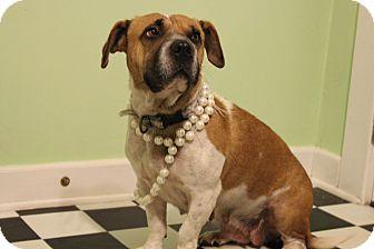 Basset Hound Mix Dog for adoption in Hatifeld, Pennsylvania - Peaches