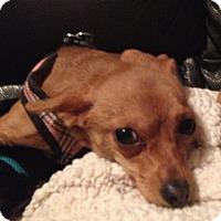 Adopt A Pet :: Elise - Gilbert, AZ