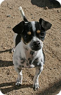 Chihuahua Mix Dog for adoption in Yucca Valley, California - Madison Anne Petite