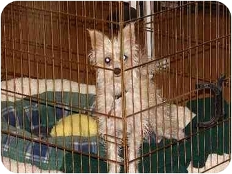 Chinese Crested/Silky Terrier Mix Dog for adoption in Lakewood, Colorado - Lily