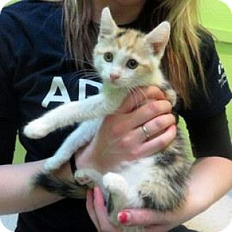 Domestic Shorthair Kitten for adoption in Janesville, Wisconsin - Cassidy