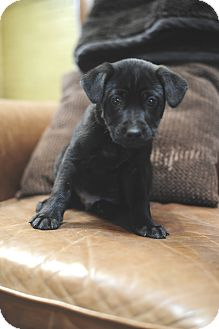Labrador Retriever Mix Puppy for adoption in Rochester, New Hampshire - Friday