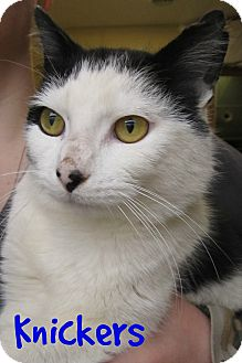 Domestic Shorthair Cat for adoption in Menomonie, Wisconsin - Knickers