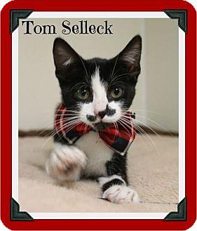 Domestic Shorthair Kitten for adoption in Cleburne, Texas - Tom Selleck