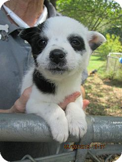 Border Collie/Feist Mix Puppy for adoption in Brookside, New Jersey - Bei Bei