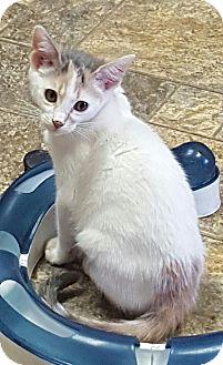 Calico Cat for adoption in Arcadia, California - Shelley