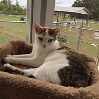 Domestic Shorthair Cat for adoption in Ocala, Florida - SIMPKIN