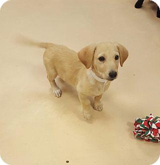 Labrador Retriever/Dachshund Mix Puppy for adoption in Walden, New York - Cutie