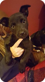 Labrador Retriever/Rottweiler Mix Puppy for adoption in Ashville, Ohio - Trudy