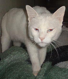 Domestic Shorthair Cat for adoption in San Diego/Imperial Beach, California - Carlos