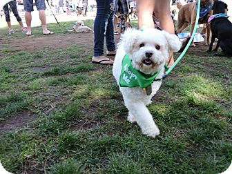 Bichon Frise Mix Dog for adoption in San Diego, California - Cielo